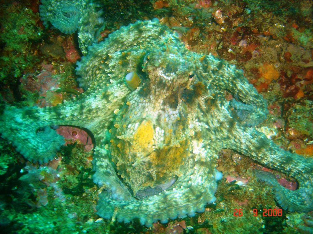 octopus_algarve_tauchen